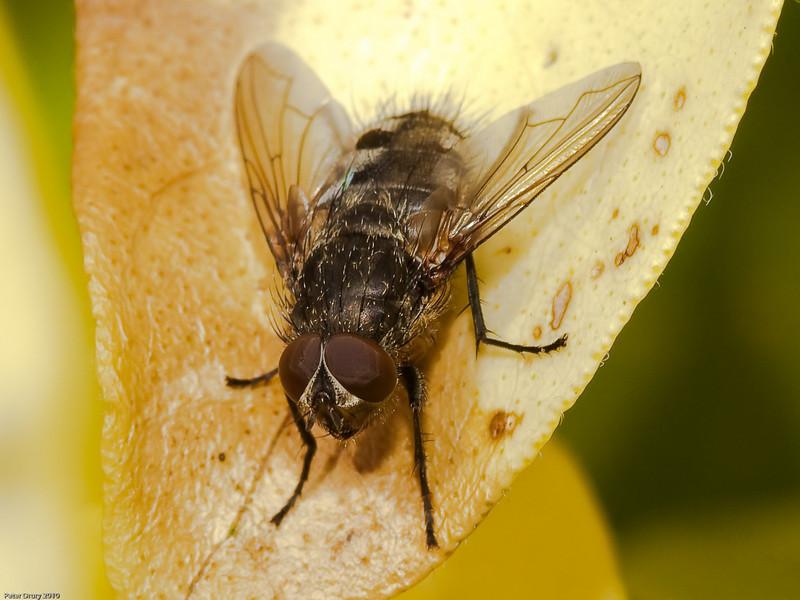 Calliphoridae - Pollenia sp. Copyright Peter Drury 2010