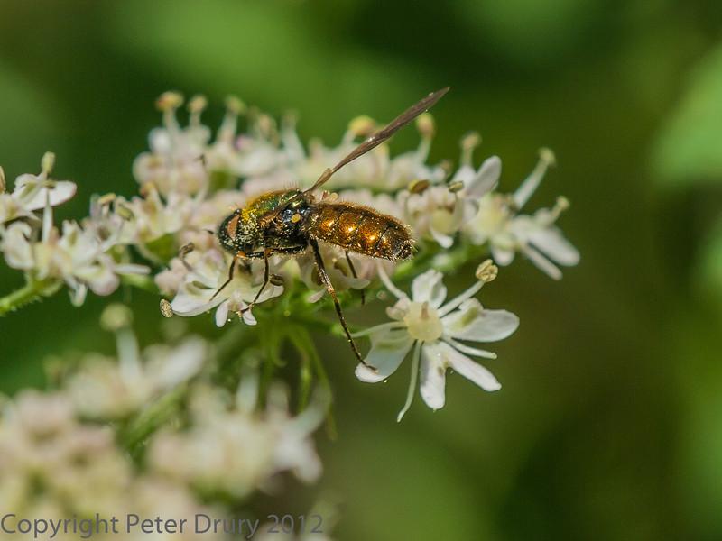 05 July 2012 Chloromyia formosa male at Port Solent