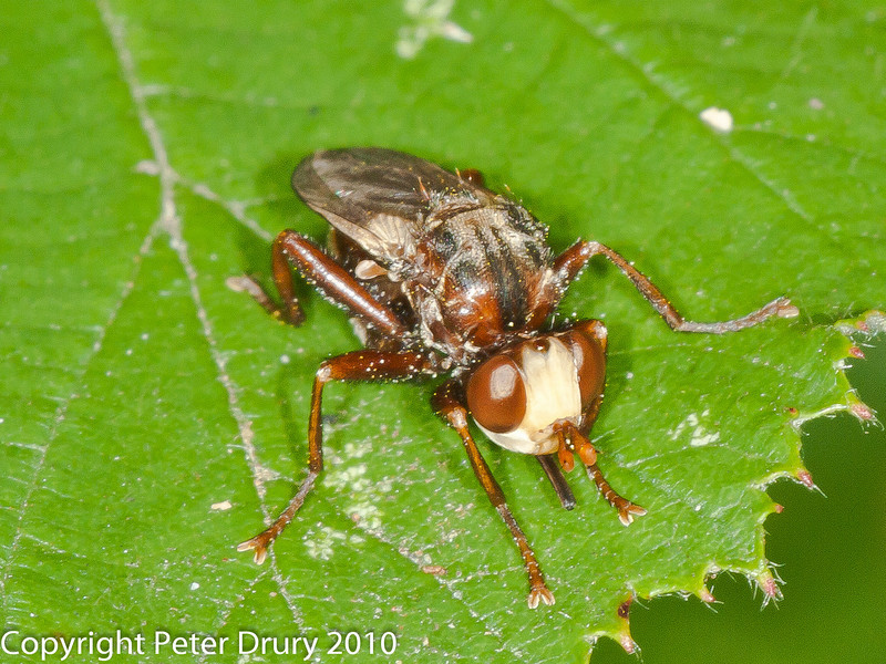 Sicus ferrugineus. Copyright Peter Drury 2010