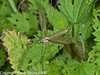09 Sep 2010 - Tipula oleracea at Plant Farm, Waterlooville. Copyright Peter Drury 2010