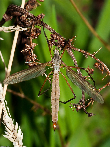 Crane-fly (Tipula paludosa). Copyright 2009 Peter Drury<br /> Similar to T. oleracea but females have wings shorter than the abdomen. This is a female. The larvae are known as leatherjackets and are a pest to crops.