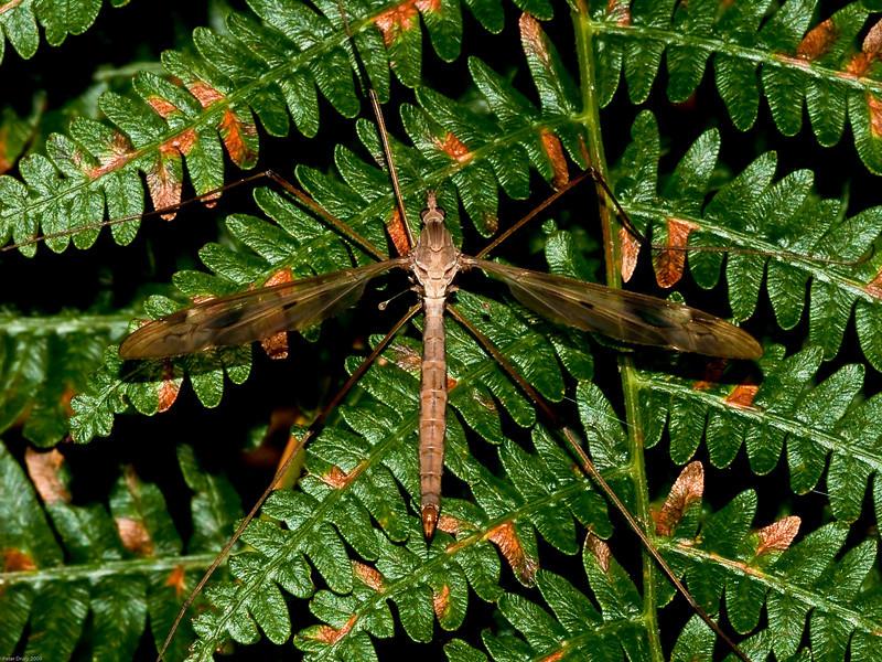 Crane-fly (Tipula paludosa) female. Copyright 2009 Peter Drury