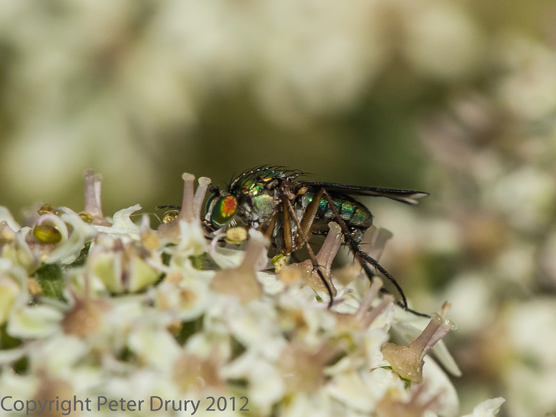 05 July 2012 Long-legged Fly (Poecilobothrus nobilitatus) at Port Solent