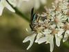 05 July 2012 Long-legged Fly (Poecilobothrus nobilitatus) at Port Solent