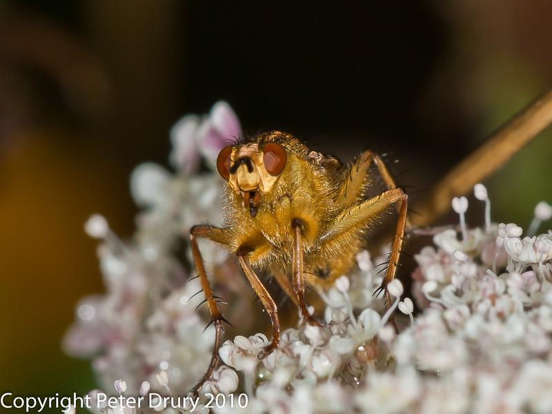 27 Aug 2010 - Scathophaga stercoraria. Copyright Peter Drury 2010