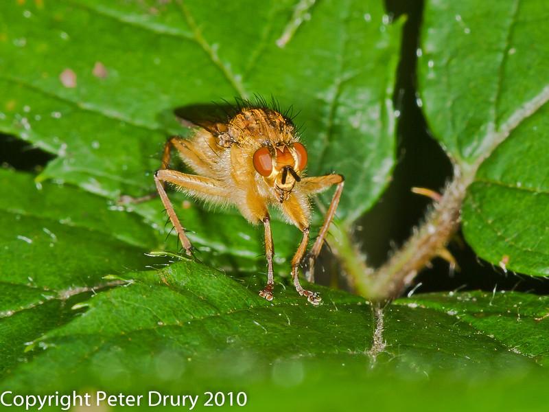 28 Aug 2010 - Scathophaga stercoraria. Copyright Peter Drury 2010
