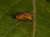Dung Fly (Scathophaga stercoraria). Copyright Peter Drury 2010