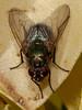 Eudasyphora cyanella. Copyright Peter Drury 2010