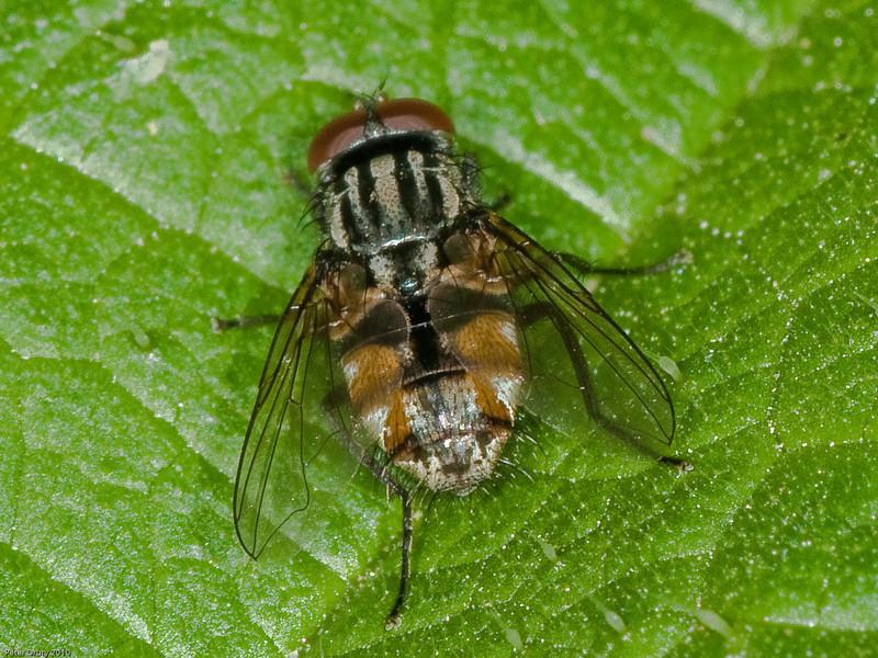 Graphomyia maculata. Copyright Peter Drury 2010