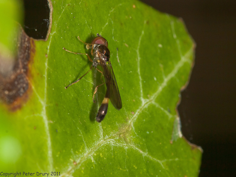 09 April 2011. Hoverfly (Baccha elongata) at Hilsea Lakes.  Copyright Peter Drury 2011