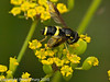 26 July 2010 -  Chrysotoxum bicinctum. Copyright Peter Drury 2010