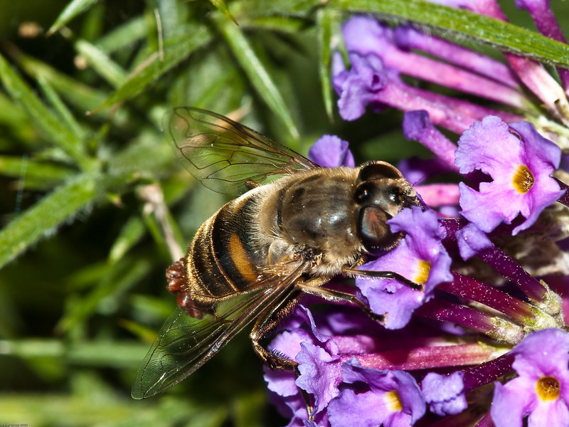 Hoverfly (Syrphidae - Eristalis tenax). Copyright 2009 Peter Drury<br /> A host of mites attached to the tip of the abdomen