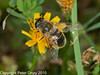 02 Sep 2010 - Eristalis tenax at Broadmarsh. Copyright Peter Drury 2010