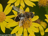 02 Sep 2010 - Eristalis tenax at Plant Farm, Waterlooville. Copyright Peter Drury 2010