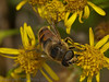 20 Sep 2011 Eristalis Tenax at Plant Farm
