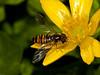 Hoverfly (Episyrphus balteatus). Copyright Peter Drury 2010