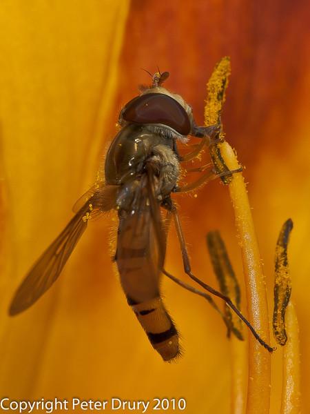02 Aug 2010 - Episyrphus balteatus. Copyright Peter Drury 2010