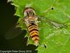 Marmalade Fly (Episyrphus balteatus). Copyright Peter Drury 2010