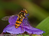 31 Jul 2010 - Marmalade fly. Copyright Peter Drury 2010