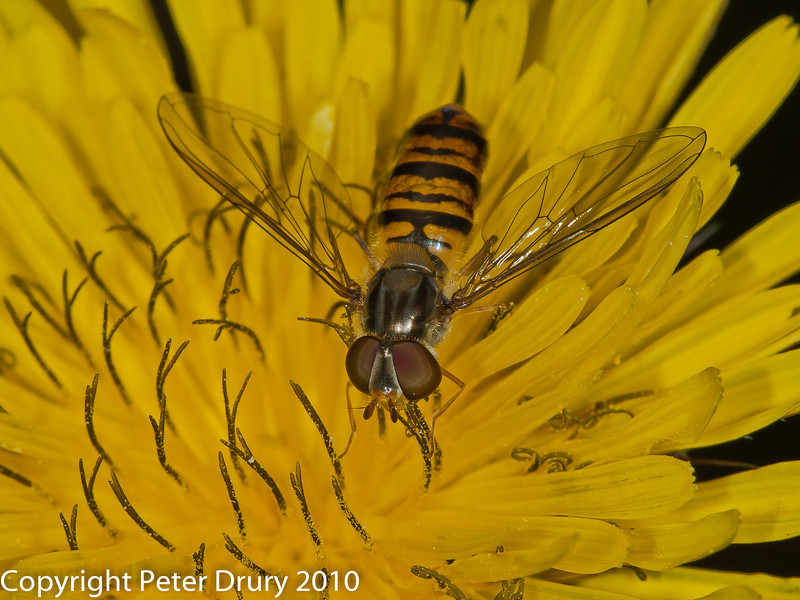 27 Aug 2010 - Episyrphus balteatus. Copyright Peter Drury 2010
