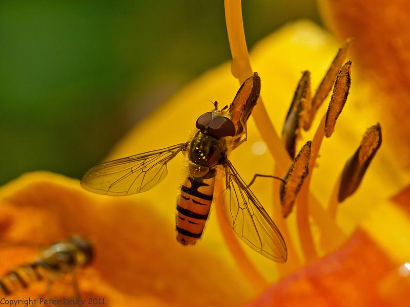 16 July 2011. Episyrphus balteatus at Widley. Copyright Peter Drury 2011