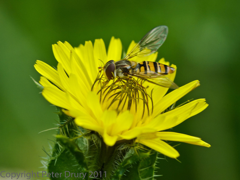 01 Aug 2011. Episyrphus balteatus at Fort Nelson.