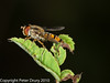 29 July 2010 - Episyrphus balteatus. Copyright Peter Drury 2010