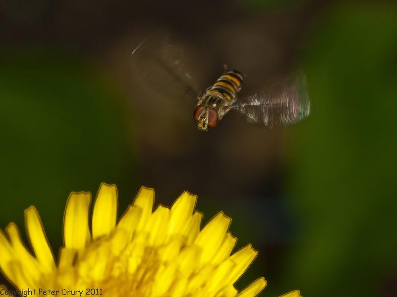 9 May 2011. Episyrphus balteatus at Widley. Copyright Peter Drury 2011