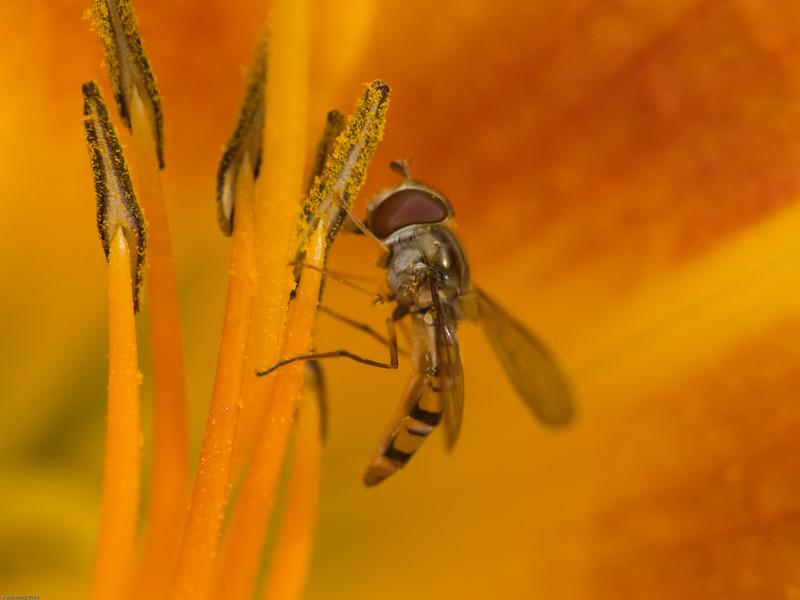 Marmalade Fly (Syriphinae-Syrphini-Episyrphus balteatus). Copyright 2009 Peter Drury