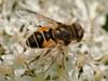 03 Jun 2009. Hoverfly (Eristalinae-Eristinali-Eristalis arbustorum). Copyright Peter Drury 2009