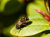 Hoverfly (Eristalinae-Eristinali-Eristalis  pertinax). Copyright Peter Drury 2009.