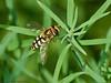 16 July 2011. Female Eupeodes corollae at Widley. Copyright Peter Drury 2011
