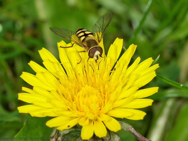 21 Jun 2011. Male Eupeodes corollae at Widley. Copyright Peter Drury 2011