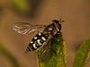 Eupeodes luniger. Copyright Peter Drury 2010