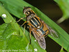 23 Sep 2010 - Helophilus pendulus at Plant Farm, Waterlooville. Copyright Peter Drury 2010