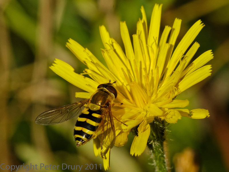 01 October 2011 Syrphus sp. at Portchester Common.