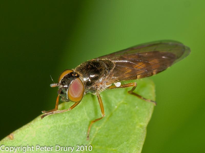 25 July 2010 - Melanostoma mellinum. Copyright Peter Drury 2010