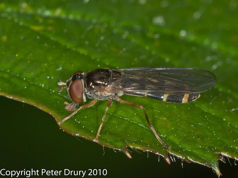 31 Jul 2010 - Melanostoma scalare. Copyright Peter Drury 2010