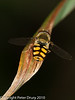 29 July 2010 - Melanostoma scalare. Copyright Peter Drury 2010