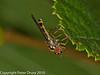 28 Aug 2010 - Melanostoma scalare. Copyright Peter Drury 2010