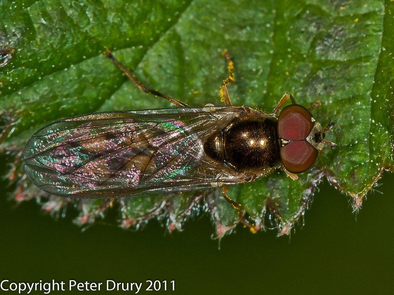 06 April 2011. Meliscaeva auricollis at Widley.  Copyright Peter Drury 2011