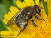 06 May 2011. Narcissus fly (Merodon equestris) at Widley. Copyright Peter Drury 2011