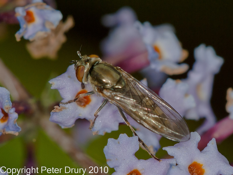 31 Aug 2010 -  Platycheirus manicatus female seen at Plant Farm, Waterlooville. Copyright Peter Drury 2010