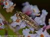 31 Aug 2010 -  Platycheirus manicatus female seen at Plant Farm, Waterlooville. Copyright Peter Drury 2010