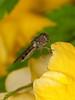 Platycheirus albimanus. Copyright Peter Drury 2010