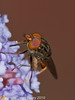 31 Aug 2010 - Rhingia campestris. Copyright Peter Drury 2010