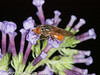 16 Sep 2010 - Rhingia campestris at Plant Farm, Waterlooville. Copyright Peter Drury 2010