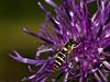 Syrphidae (Sphaerophoria scripta). Copyright 2009 Peter Drury