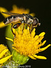 08 Aug 2010 - Syritta pipiens. Copyright Peter Drury 2010