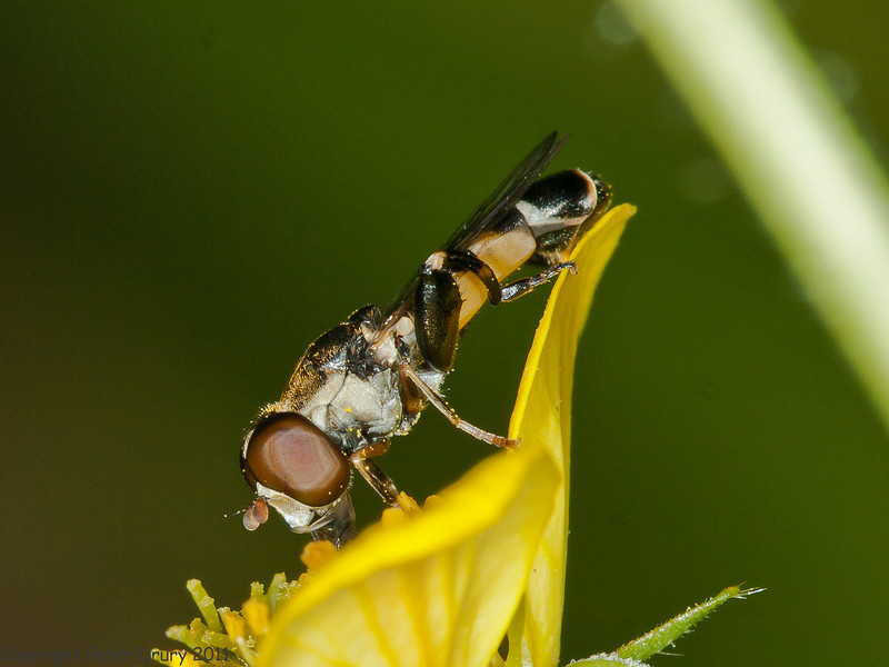 09 May 2011. Hoverfly (Syritta pipiens) at Widley. Copyright Peter Drury 2011